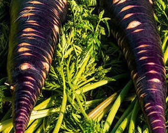 Purple Dragon Carrots Seeds