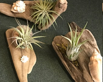 Small Driftwood and Air Fern