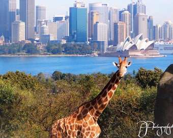 The Giraffe in Sydney Photograph