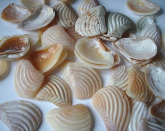 Tumbled clam shell fragments, 100