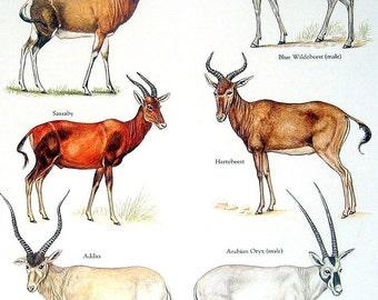 Bovids - Bontebok, Blue Wildebeest, Arabian Ox, Sassaby - Vintage 1980s Animal Book Plate Page
