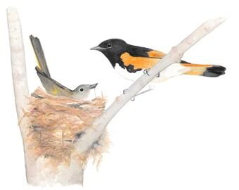 American Redstarts (nesting pair)