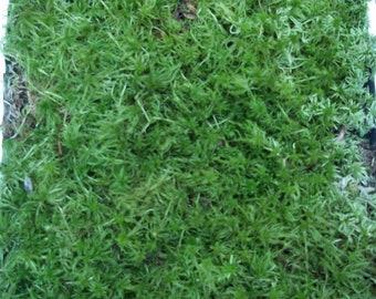Live Sphagnum Moss Quart Bag For Vivarium Terrarium Bog Garden Carnivorous Orchid