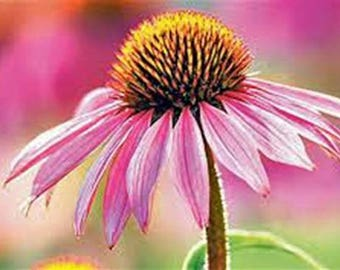 Purple coneflowers 100+ seeds organic newly harvested beautiful cut flower