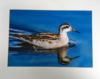 A4 Photo of Red Necked Phalarope - Mounted/Framed