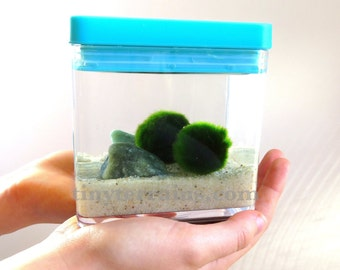 Child's First Pet Fluffy Marimo Terrarium, Acrylic Aquarium with White Lid and Larger Marimos - Several pebble colors, Gift for Kids
