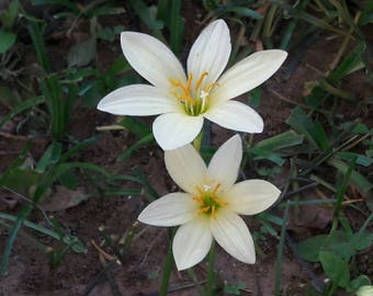 3 Rain Lily Bulbs, Zephyranthes 'Bangkok Yellow' THAILAND ORIGINAL, Rainflower, Fairy Lily, Magic Lily, Zephyr Lily, Atamasco Flowering Size