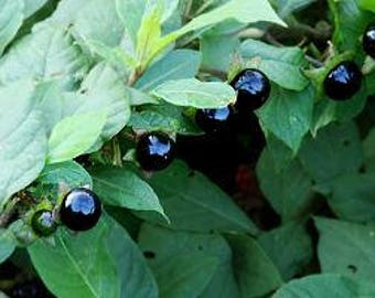 Belladonna Seeds / Deadly Nightshade/ Atropa belladonna / Historical Herb/ Ethnobotanical