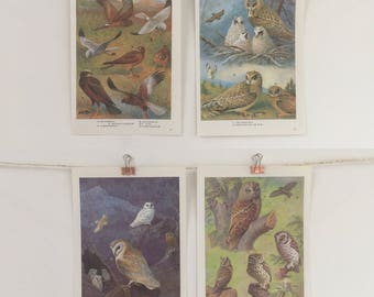 Vintage 1960's Book Pages, Illustrations, Print, Nature Wild Birds, Harrier, Barn Owls, Tawny Owls, Set Of 4 Wall Decor