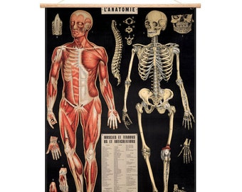 Vintage skeleton and anatomy curio poster chart