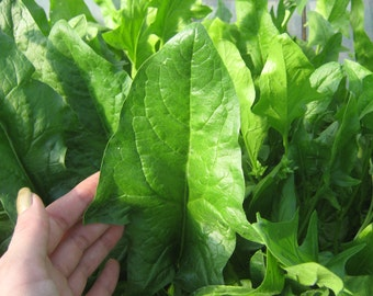 Heirloom Spinach seeds, Organic Spinach seeds, non-GMO Spinach seeds, home grown Matador Spinach seeds, 50+ seeds