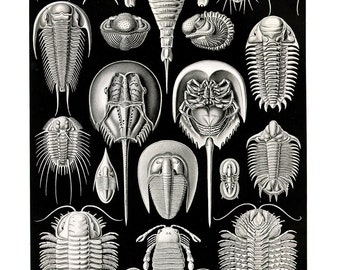 Sea Creatures Horse Shoe Crabs Plate  - Ernest Haeckel ~ Marine Biology Poster - Evolution - Science ~Black & White Giclee Fine Art Print