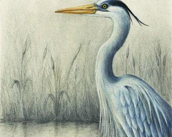A great blue heron giclee print