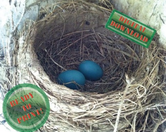 Blue Robin Eggs Photograph Farm Living Digital Nature Photography/Nest