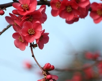 Neighbors - Flower Photograph - Quince Blossoms - 4x6, 5x7, 8x10, 11x14, 16x20