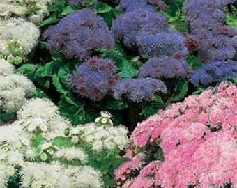 Ageratum Mexicanum Mix Flower Seeds/Annual   50+