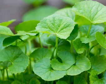200 Seeds Centella asiatica, Indian pennywort Seeds,  Gotu kola Seeds