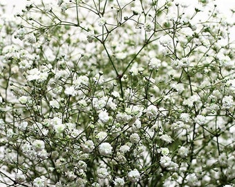 Babys Breath Flower Seeds (Gypsophila Paniculata)  Fresh seeds 1gr Approx 200 + seeds