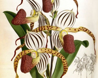 Orchid print cypripedium stonei Victorian botanical illustration reproduction from Warner's 'Orchid Album'