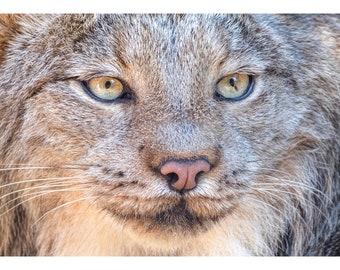 Série de la faune trois: Lynx