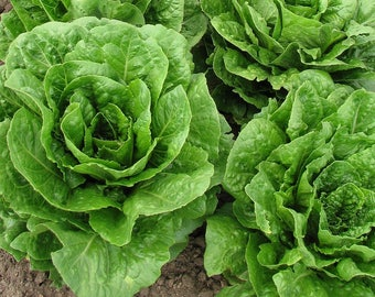 Plato II Romaine Lettuce 40+ seeds, OP/Heirloom Certified Organic seeds