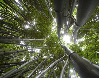 Bamboo Forest Print, Wall Art, Printable Art, Nature Photography, Nature Print, Photography Print, Gift idea