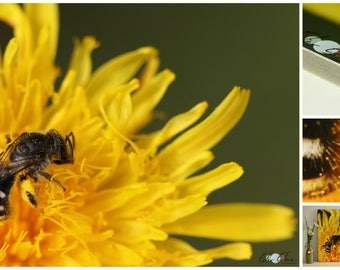 Photograph bee on flower