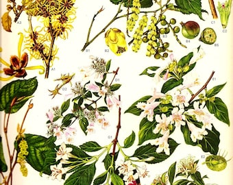 Vintage Botanical Print 1970 Color Art Wild Flowers Book PLATE 94 Collectable Frameable Chinese Beauty Bush Pink Flowers Seeds Berries
