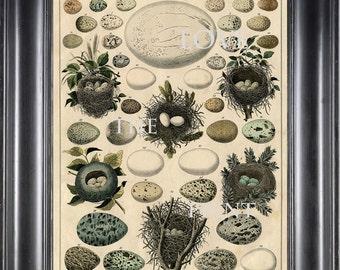 BIRD EGGS NEST  Art Print C1 Beautiful Antique Bird Eggs and Nests on Ivory Decoration Wall Hanging