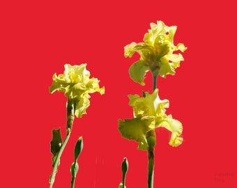 Dancing ballet yellow lilies