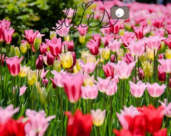 Bright Rows of Tulips
