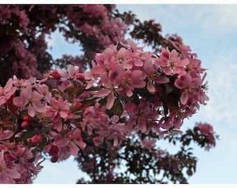 Pink Cherry Tree