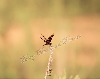 Striped Dragonfly Signed Photograph 4x6 Matted Print