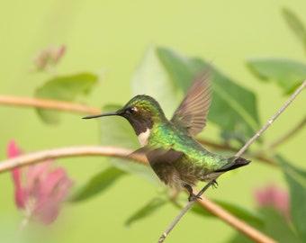 Hummingbird 5x7 Original Photograph Matted to 8x10