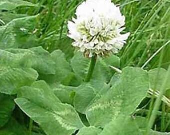 Regal Graze Ladino Clover Seed