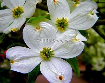 Dogwood Blossoms Fine Art Photograph Nature