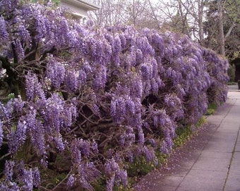 1 Purple Wisteria
