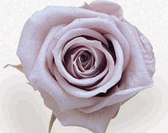 Preserved Natural Roses, Victorian Lilac Preserved Roses, Preserved Large Standard Size  Simply Beautiful !
