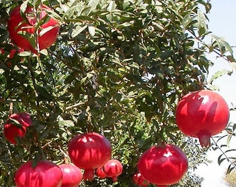 Wonderful Pomegranate Tree, 2-3 Year Old (2-3 Ft), Potted, 3 Year Warranty