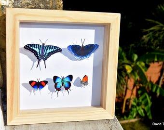 Butterfly Box - Blue tropical butterflies | Like-real in 15cm x 15cm shadow box