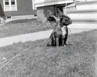 Vintage photo 1918 Black Bulldog Terrier Dog tied to STring in Grass