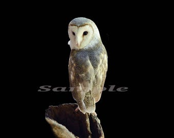 Wildlife photography, fine art, perched  barn owl