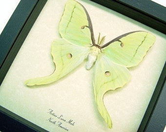 Real Framed Male Luna Moth Actias 1124