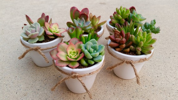 40 Succulent WEDDING Favors Succulent Bridal Shower favor