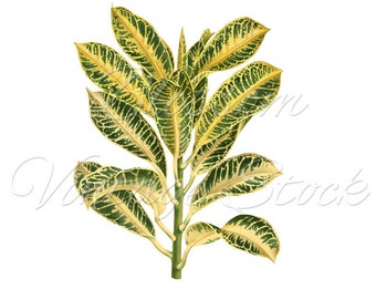 Plant Botanical Print, Antique Plant, INSTANT DOWNLOAD Vintage Digital Image, Clipart - 2112