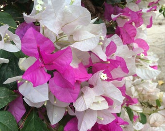 "Pink and White Bougainvillea  5""x7"" Photo Greeting Card"