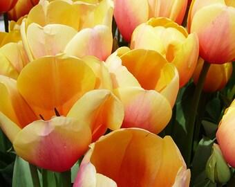 Digital Download Yellow Tulips Flower Photo Print, Botanical, Flower Photography
