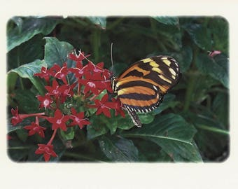 Tiger Longwing Butterfly Note card