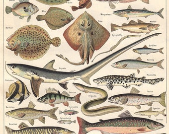 French Fish Chart ~ Marine Biology Poster - Fish Species Poster - Ocean Science ~ Kitchen Decor - Restaurant Wall Art - Fisherman Art Print