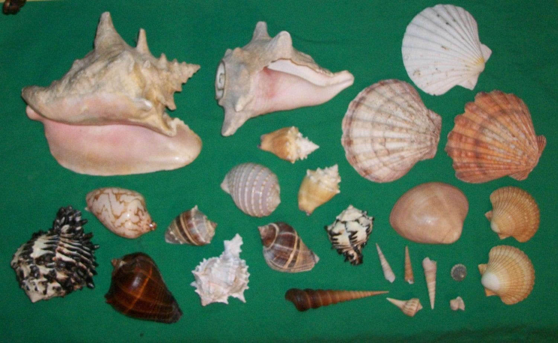 Vintage sea shell crazy money lot conch mollusk cowry moneta zoom solutioingenieria Images